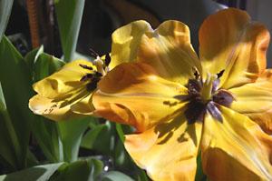 tulip22