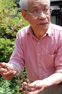 Natural Dyeing Master Youjiro Takezawa shows us his madder root from the garden (Mr.Takezawa passed away 4 years ago. His wife succeeded his studio) 4-388 Umedamachi Kiryu city, Gunma japan japan,silk