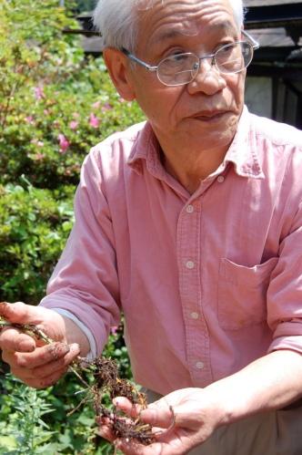 Natural Dyeing Master Youjiro Takezawa shows us his madder root from the garden (Mr.Takezawa passed away 2 years ago. His wife succeeded his studio)4-388 Umedamachi Kiryu city, Gunma japan japan,silk