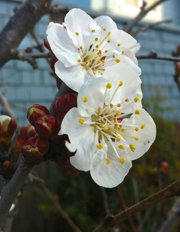 apricot blossoms' sweet promise...