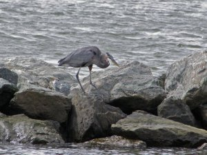 Immature Great Blue Heron looking for dinner ©2010 Peg Mathes Yates