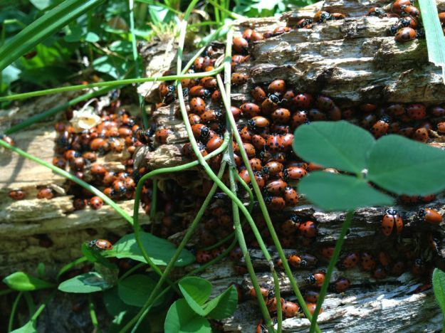 ladybug log home