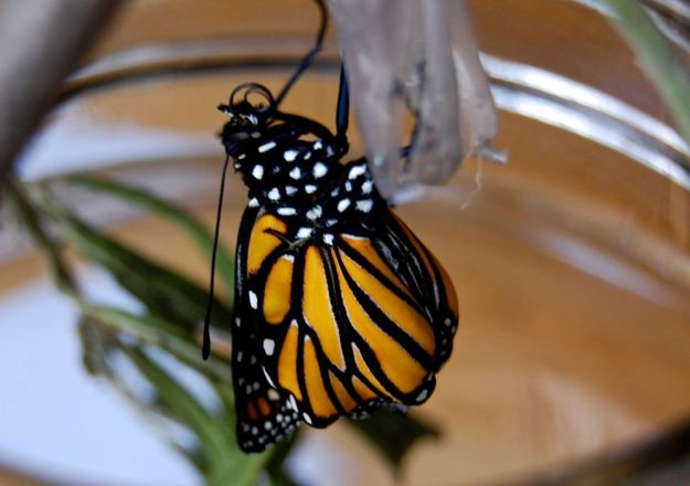a monarch emerged!