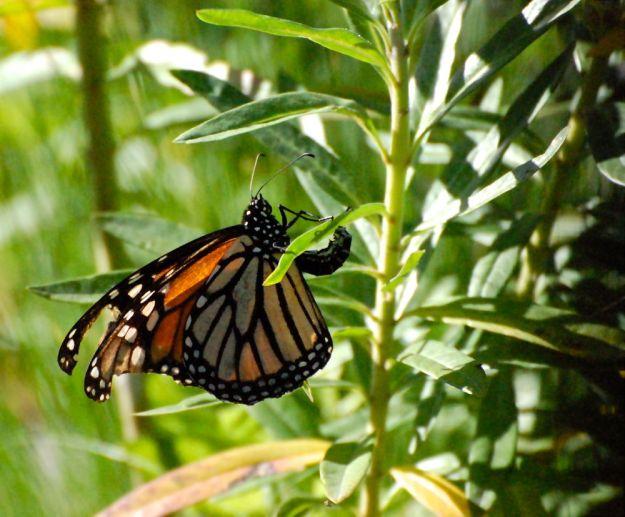 monarch laying eggs on backyard milkweed!