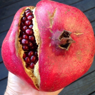 pomegranate fruit ripe and ready!