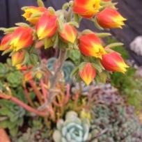surprise succulent