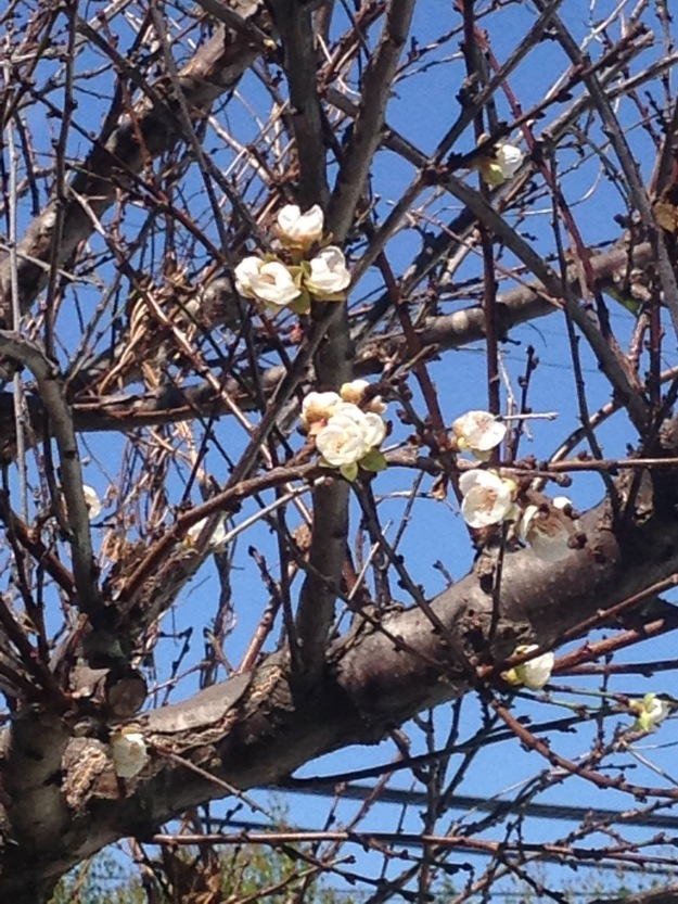apricot tree in bloom is confused with our 106 degree weather.