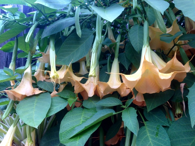 never to be tamed-the brugmansia marches on scenting the garden