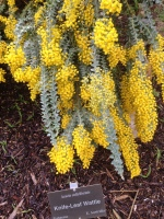 knife leaf wattle- I want to add this to the yard...